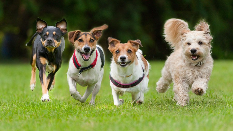 4 Little dogs running in a row._368579