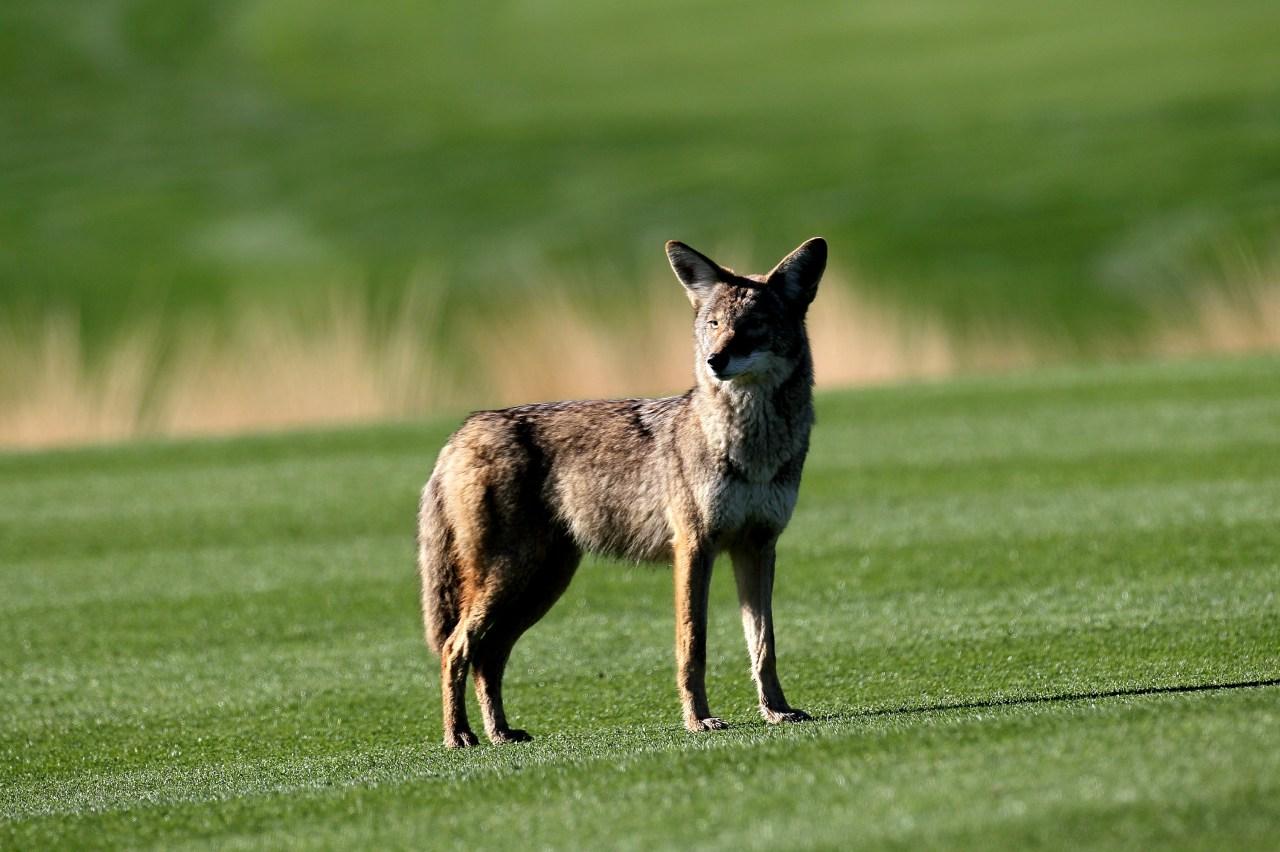 coyotes 36694061 ver1 0 jpg?w=1280.