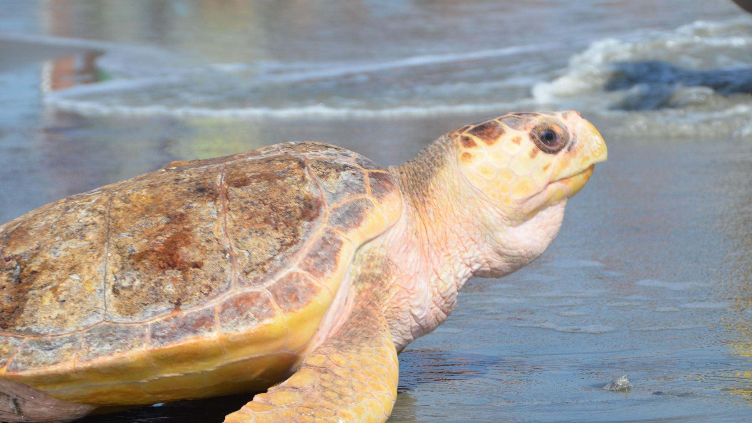 csouth-carolina-aquarium-sea-turtle-care-center-turtle-release-ray-serp-oyster-folly-beach-october-2016-21_241294