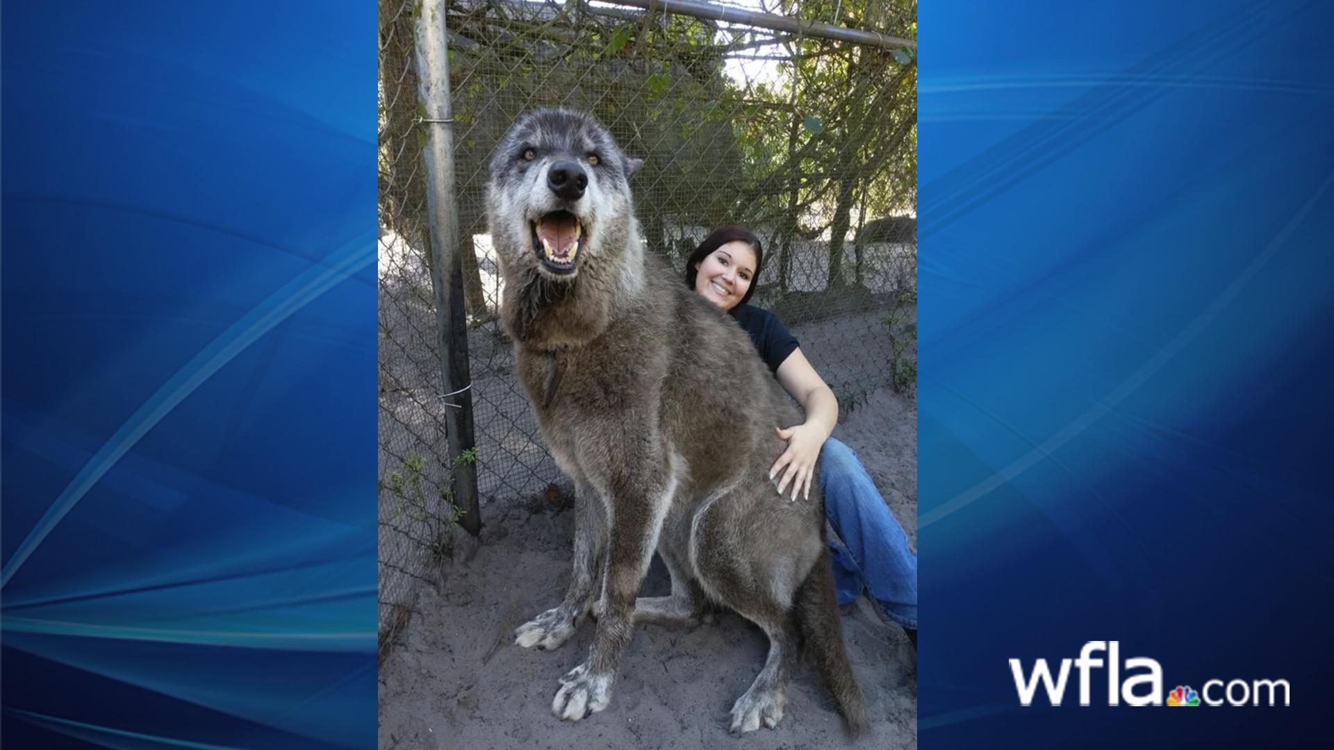 Yuki the Wolf-846652698.jpg